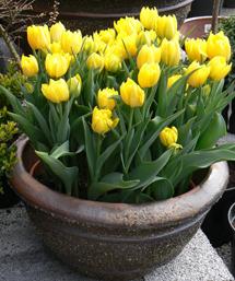 Tulipa-Monte-Carlo