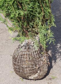 Koneella tehdyssä paakutuksessa juuriston ja kasvin koko eivät aina ole suhteessa toisiinsa. Paakutusmateriaali on joustavaa mutta hitaasti maatuvaa.