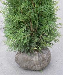 Käsin tehty paakku on leveä antaen juuristolle tilaa. Se on riittävän suuri kasvin kokoon nähden. Materiaalina käytetään nopeasti maatuvaa verkkokangasta.