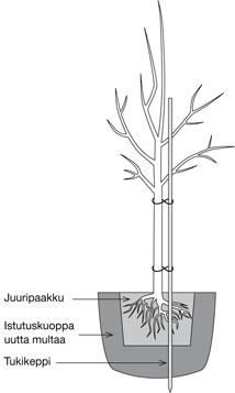Hillittykasvuisen hedelmäpuun hoito