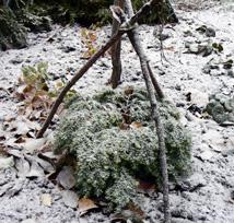 Talvisuojauskehikko pienelle kasville. Suojapeite levitetään kehikon varaan.
