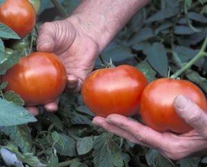 Kypsat tomaatit