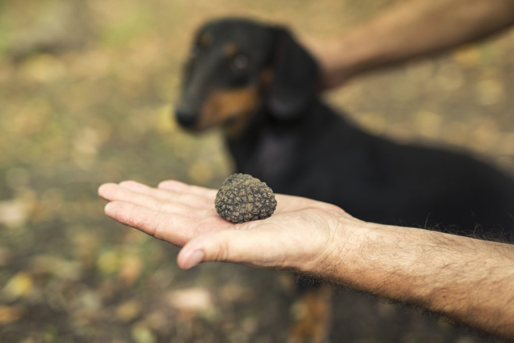 Koira löytää hajuaistinsa avulla tryffelit